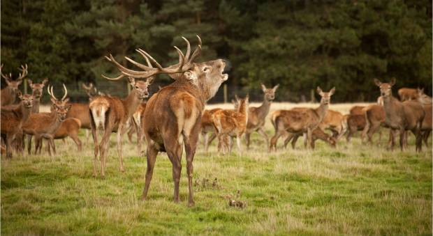 Tatton stag during rut
