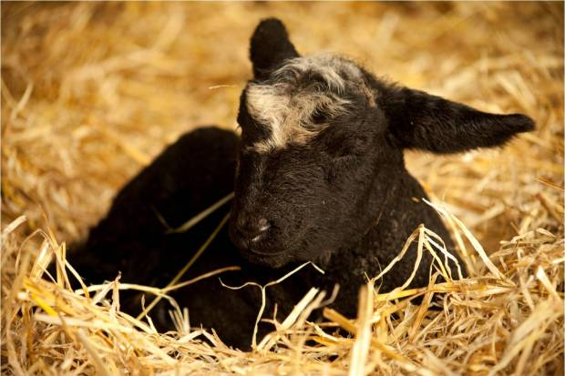 Tatton Lamb 6