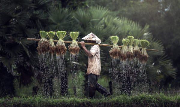 Farmer Carrying Rice Thailand