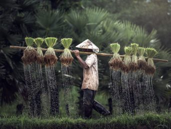 Farmer Carrying Rice Thailand