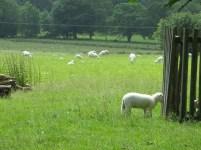 Zulke witte schapen