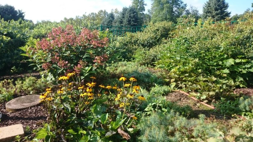 Green flowering landscaping featuring black-eyed Susans and a bush with pink flowers.