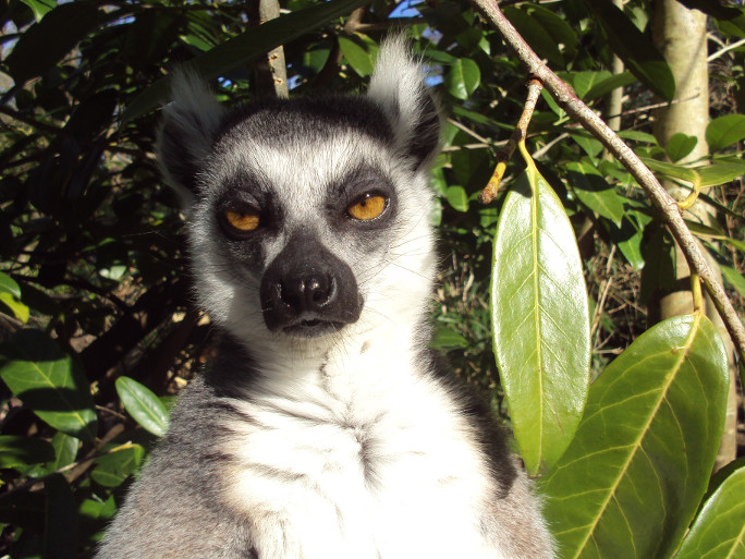 A gumpy lemur is not amused.
