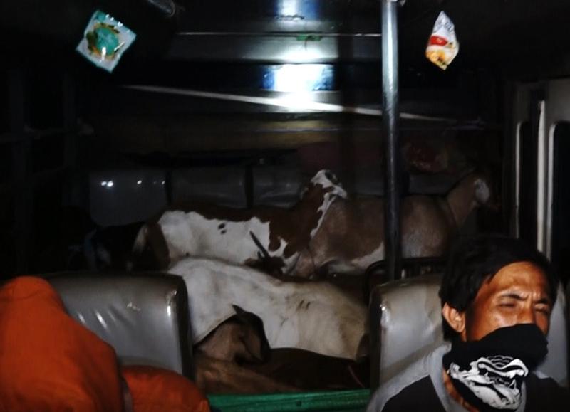 Bus Sarat Penumpang Manusia dan Kambing Terjaring Razia di Pelabuhan Poto Tano