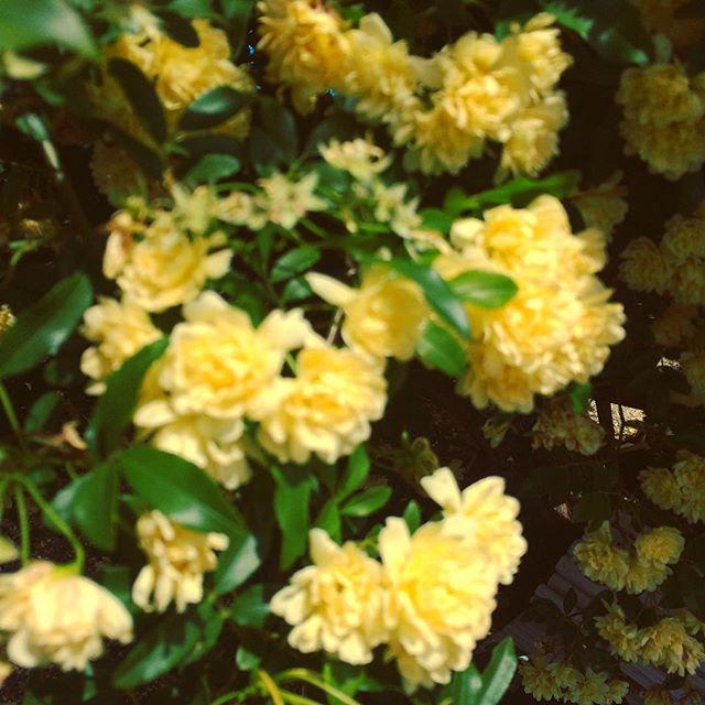 #木香薔薇 と言います綺麗でしょ?#kodamatei #JAPAN #Aichi #樹神亭 #愛知県 #安城市 - from Instagram