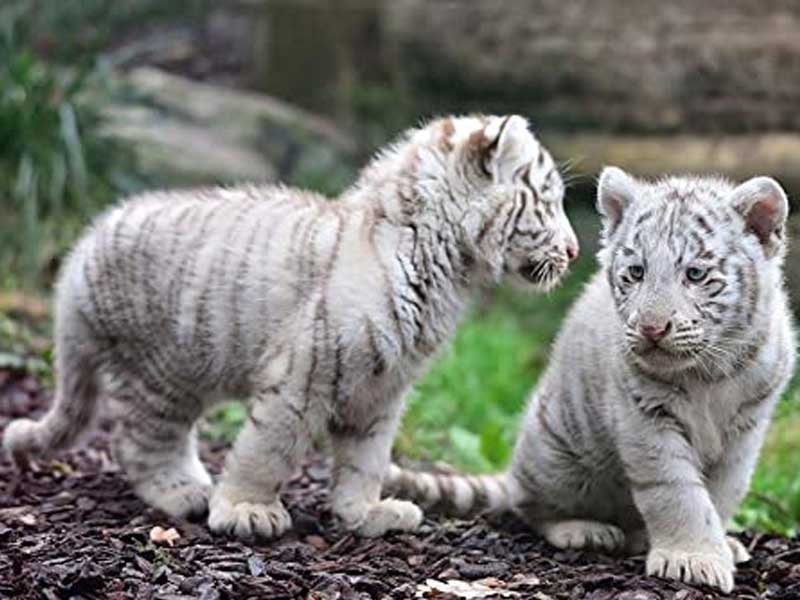 Two white tiger cubs in Pakistan likely died of COVID, zoo officials say