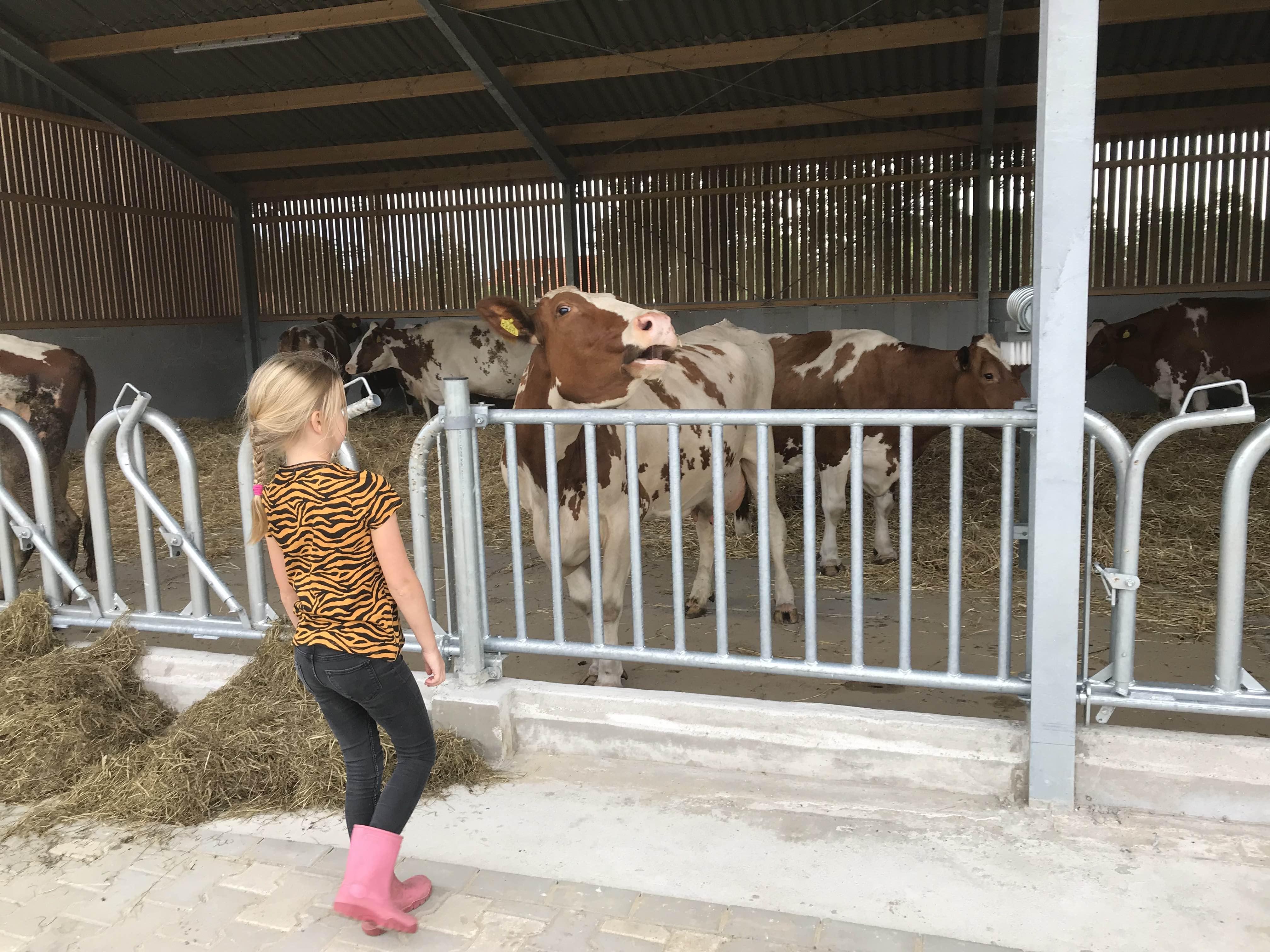 Vrijloopstal koeien Koelant