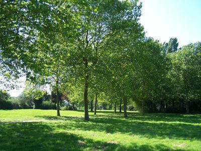 Ein Bild aus besseren Zeiten: Sattes grün an Kölner Bäumen sucht man aktuell vergeblich, Bild: jennip / pixelio.de