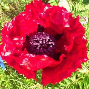 Wir sehen heute v.a. die Schönheit der Blüte - im ersten Weltkrieg blühten sie auf der von Geschützen aufgewühlten Erde