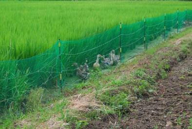 森ファーム 合鴨農法