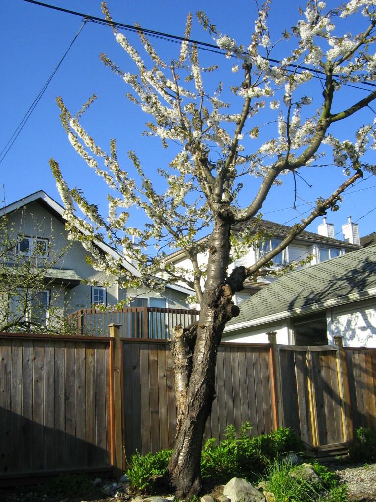 Blossoms on cherry tree at Kogawa House - photo Todd Wong