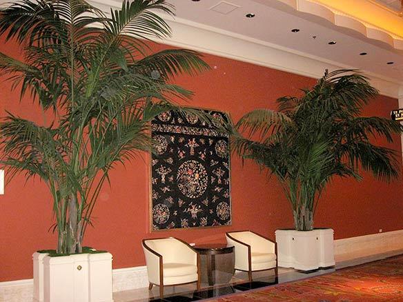 Image of beautiful Hawaiian premium grade Kentia Palms