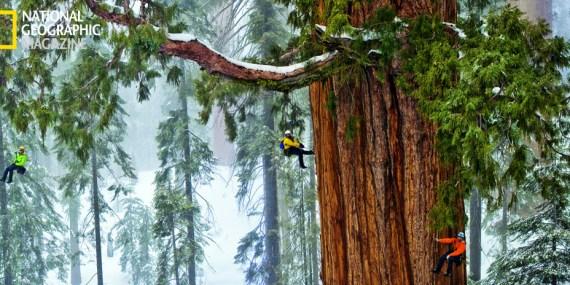 Sequoia più alta del mondo
