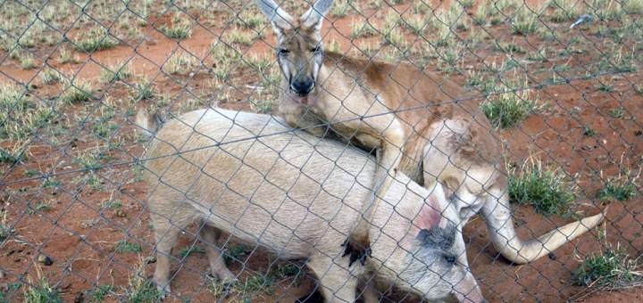 Love story tra animali un esemplare maschio di canguro e una femmina di maiale