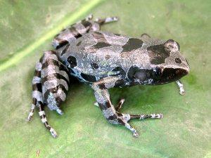 animali estinti Cardioglossa cyaneospila rana dalle lunghe dita