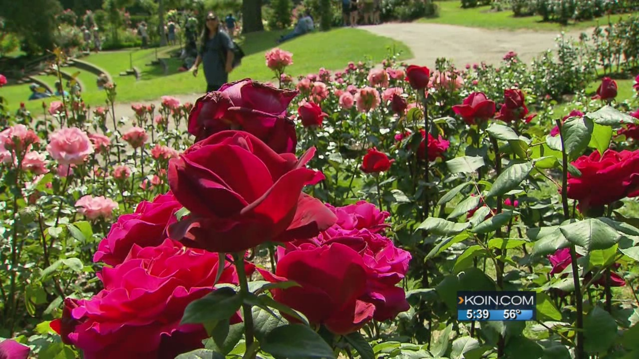Where We Live: The Portland Rose Festival