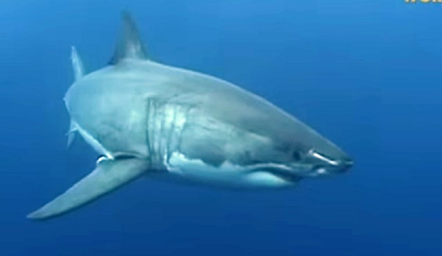 great-white-shark-10112016-web_357240