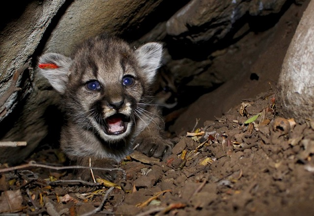 mountain lion kitten_1529428859893.jpg.jpg