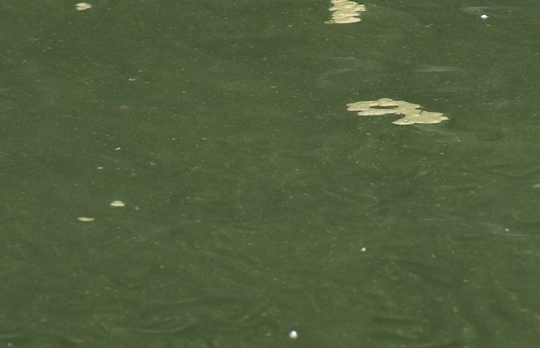 The blue green algae visible on the Willamette River, August 16 2018. (KOIN)