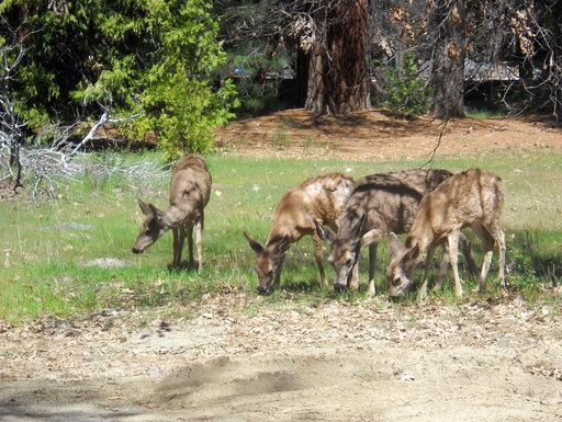 Mule Deer_1558463308177