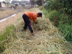 Vetiver Grass หญ้าแฝก