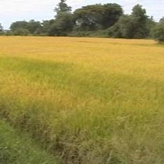 Rice Field ทุ่งนา
