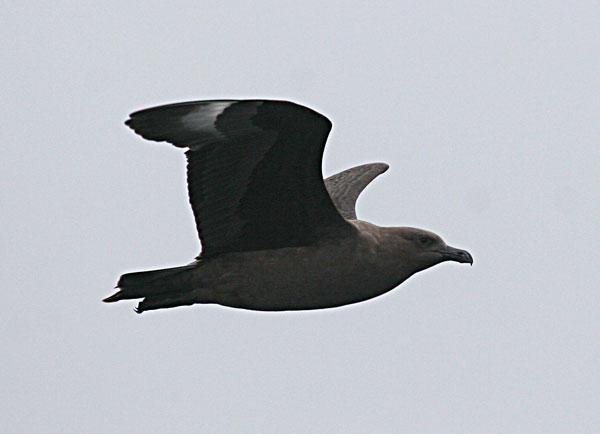 South Polar Skua Stercorarius maccormicki. Photo: Gunnar Engblom