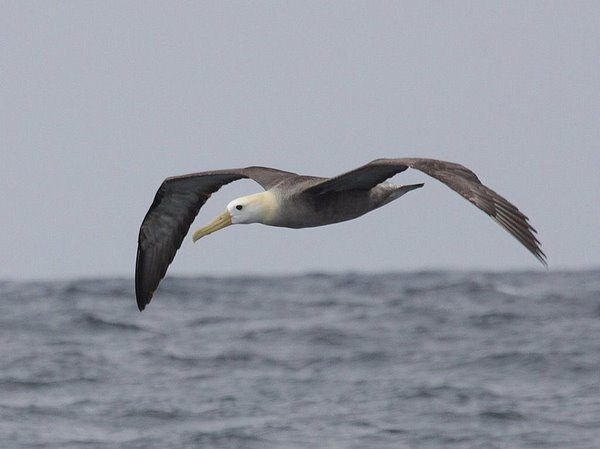 Waved Albatross Phoebastria irrorata. Photo: Gunnar Engblom