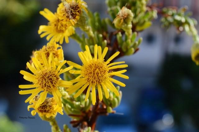 4_Limbarda crithmoides
