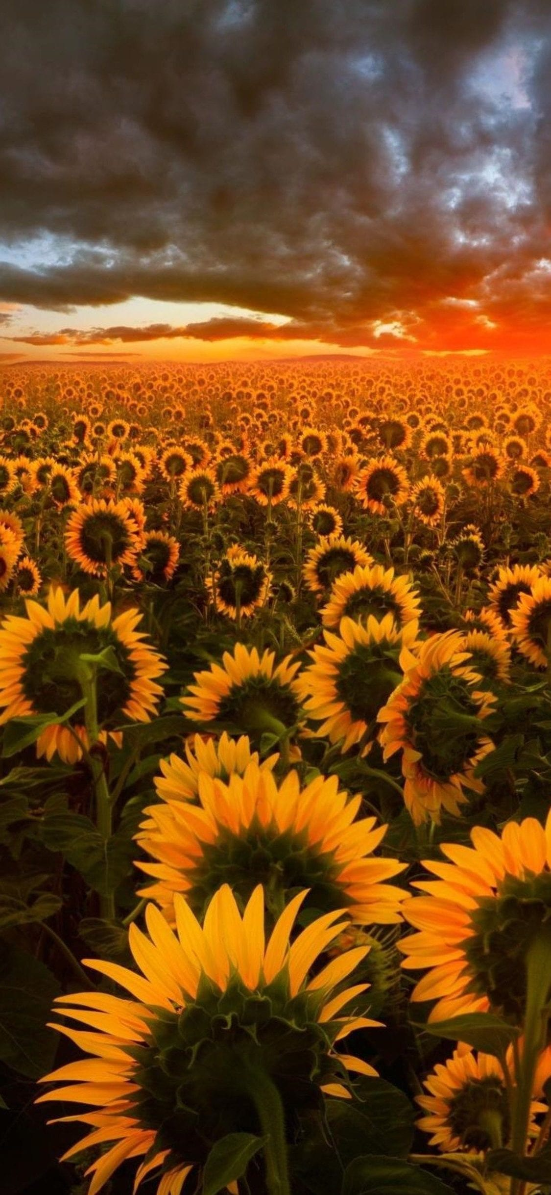 Iphone Sunflower Background Kolpaper Awesome Free Hd Wallpapers