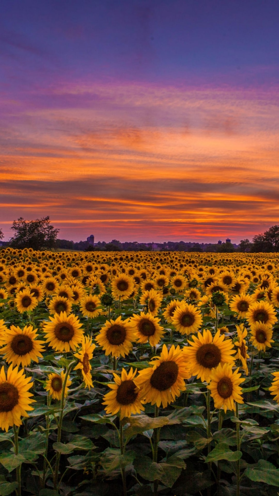 Iphone Sunflower Wallpaper Kolpaper Awesome Free Hd Wallpapers