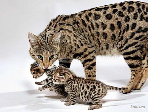 Кошки породы Саванна