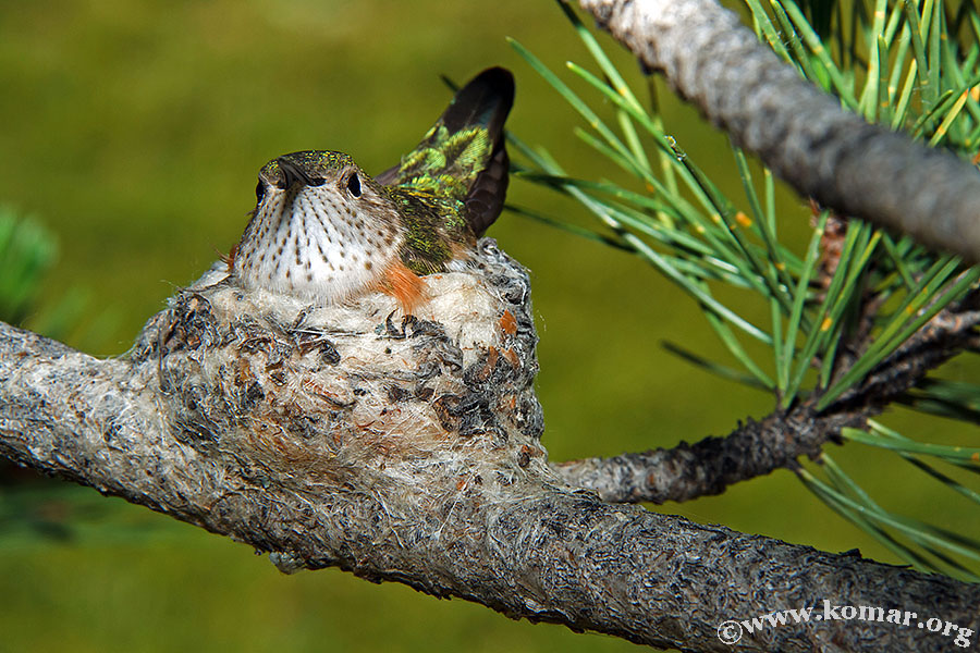hummingbird nest 0623c