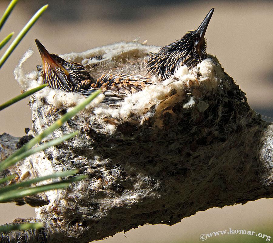 hummingbird nest 0715f