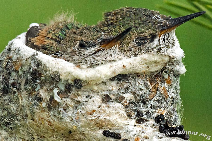 baby Hummingingbirds in nest 0719