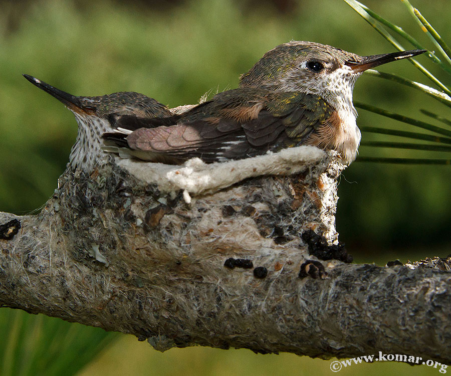 hummingbird nest 0722a