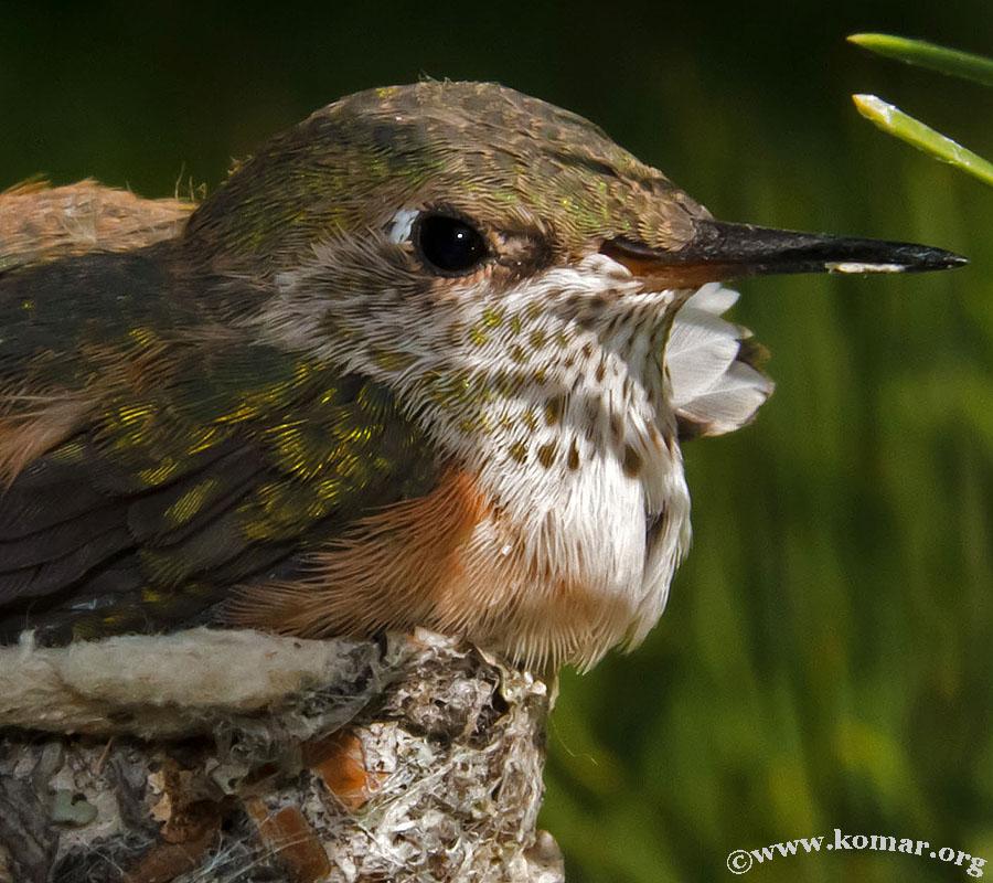 hummingbird nest 0722b