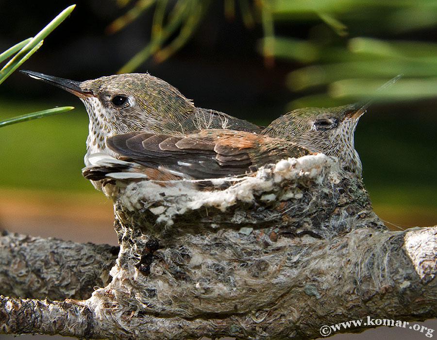 hummingbird nest 0722d