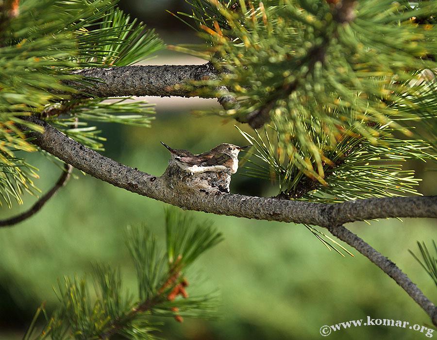 hummingbird nest 0722g
