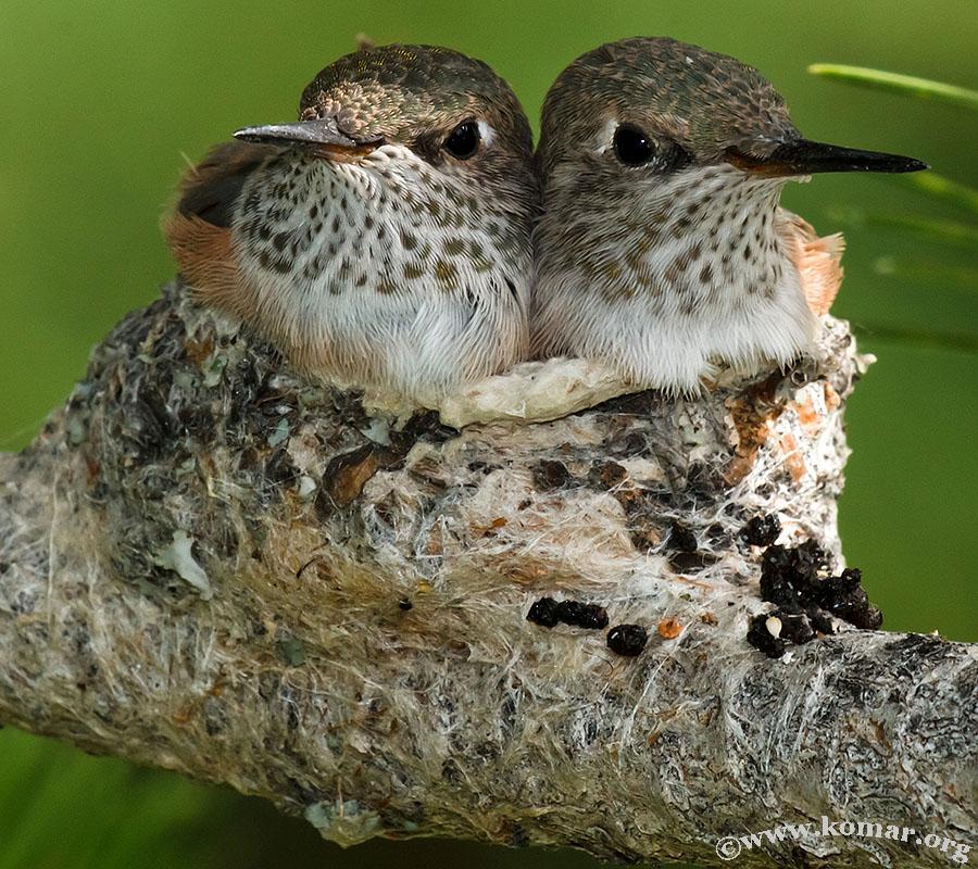 hummingbird nest 0723a