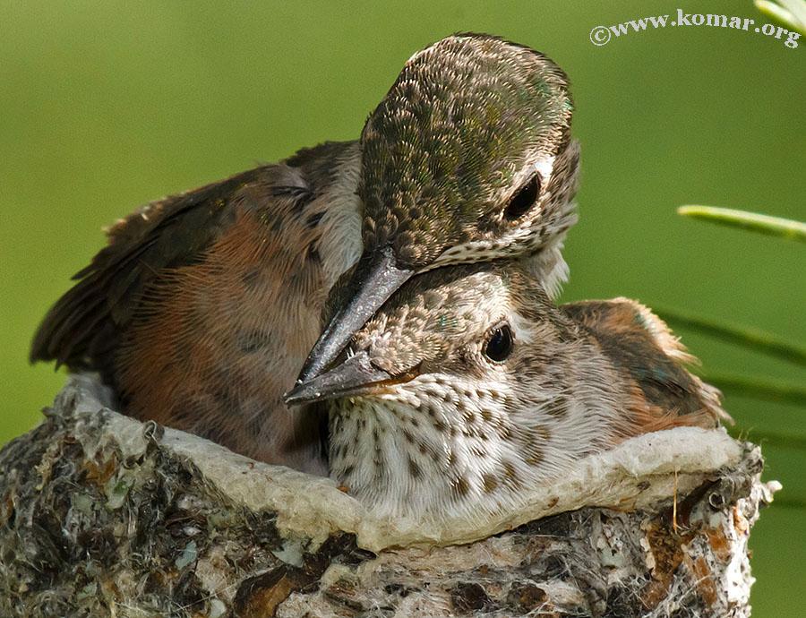 baby Hummingingbirds siblings 1