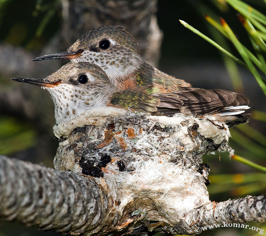 hummingbird nest 0723b