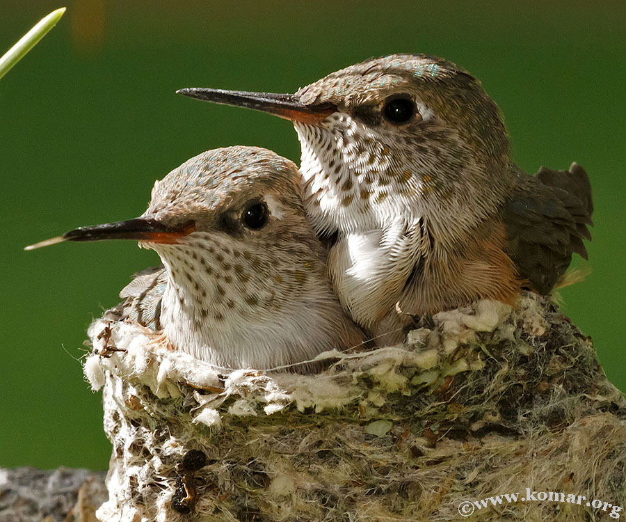 hummingbird baby sticks tongue out