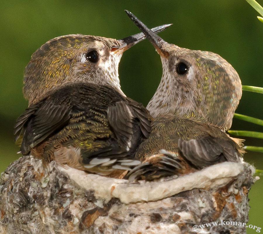 baby Hummingingbirds siblings 2