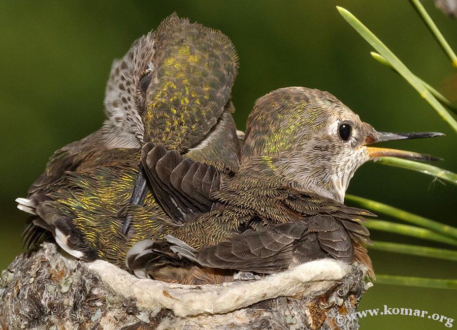 hummingbird nest 0723e