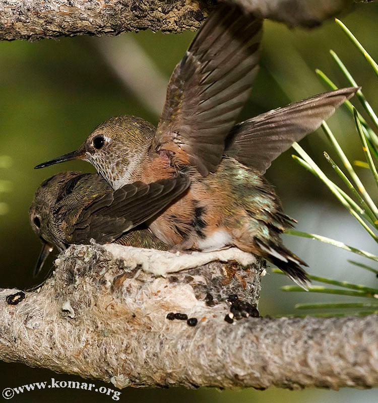 baby Hummingingbird flap wings 0624