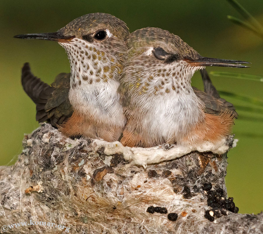 hummingbird nest 0624i