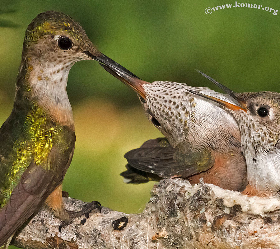 hummingbird nest 0624m