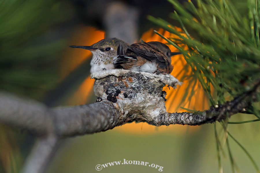 hummingbird nest 0624k