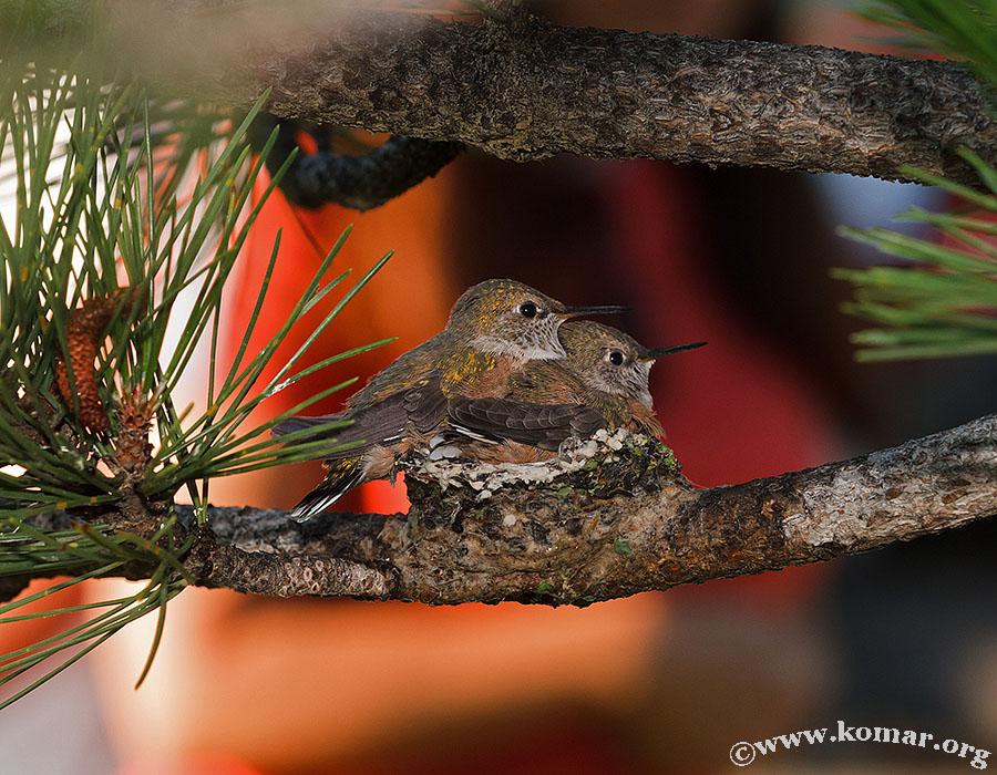hummingbird nest 0625a